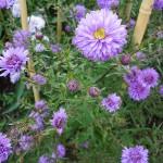 Symphyotrichum novi-belgii Marie Ann Neil