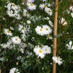 Symphyotrichum novi-belgii Mount Everest