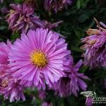 Symphyotrichum novi-belgii Patricia Ballard