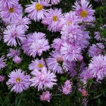 Symphyotrichum novi-belgii Peace