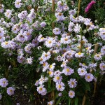 Symphyotrichum novi-belgii Plenty