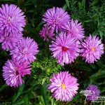 Symphyotrichum novi-belgii Pride of Cornwall