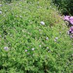Symphyotrichum novi-belgii Remembrance