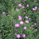 Symphyotrichum novi-belgii Richness