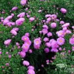 Symphyotrichum novi-belgii Terrys Pride