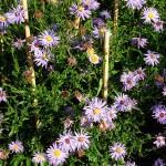Symphyotrichum novi-belgii The Sexton