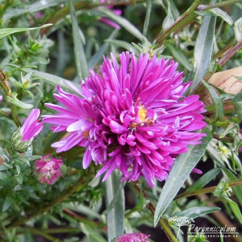 Symphyotrichum novi-belgii
