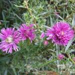 Symphyotrichum novi-belgii Thundercloud