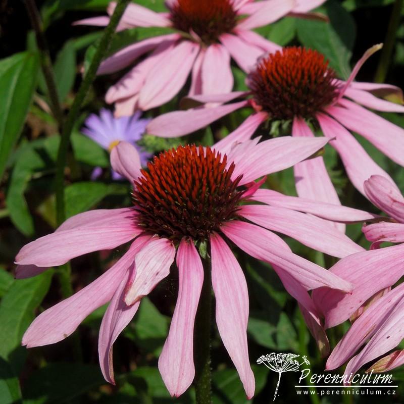 echinacea purpurea 39 magnus 39 perenniculum. Black Bedroom Furniture Sets. Home Design Ideas