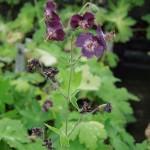 Geranium phaeum Lustigewitwe
