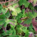 Geranium wallichianum Syabru