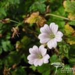 Geranium x oxonianum Walter's Gift