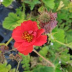 Geum Blazing Sunset