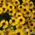 Helenium Blütentisch