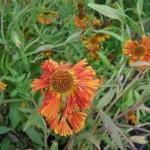 Helenium Chipperfield Orange