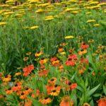 Helenium Sahin's Early Flowerer