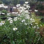 Leucanthemum x superbum Alaska