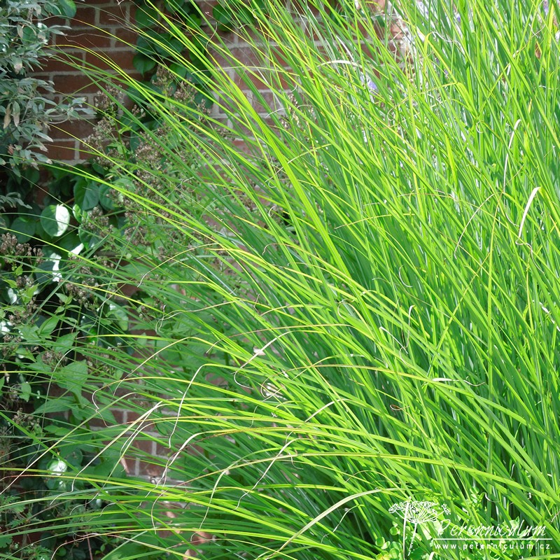 miscanthus sinensis 39 gracillimus 39 perenniculum. Black Bedroom Furniture Sets. Home Design Ideas