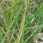 Miscanthus sinensis Kaskade