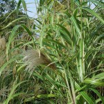 Miscanthus sinensis var. condensatus Cosmopolitan