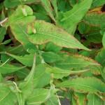 Persicaria amplexicaulis Alba