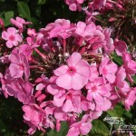 Phlox paniculata Little Princess