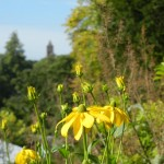 Rudbeckia laciniata Herbstsonne