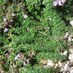 Thymus serpyllum Minus