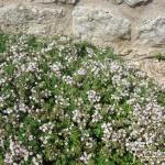 Thymus serpyllum Pink Chintz