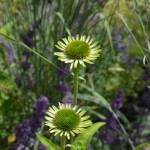 Echinacea Green Jewel