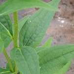 Echinacea purpurea Green Jewel