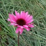 Echinacea purpurea Primadonna Deep Rose