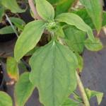 Echinacea purpurea Razzmatazz