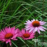 Echinacea purpurea Rubinstern