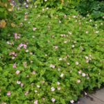 Geranium x oxonianum Wargrave Pink