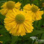 Helenium Double Trouble
