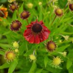 Helenium Red Jewel