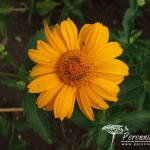 Heliopsis helianthoides Summer Sun