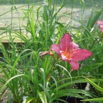 Hemerocallis Summer Wine