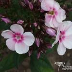 Phlox paniculata Europa