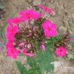 Phlox paniculata Karminvorläufer