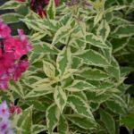 Phlox paniculata Nora Leigh