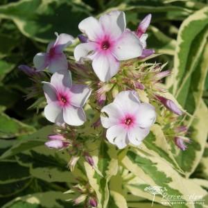 Phlox paniculata Norah Leigh