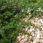 Thymus serpyllum Vey