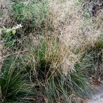 Deschampsia cespitosa Goldtau