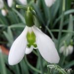 Galanthus Lapwing