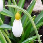 Galanthus plicatus Wendy's Gold