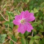 Geranium x oxonianum Lutzie