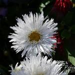 Leucanthemum superbum Aglaia