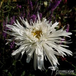 Leucanthemum x superbum Aglaia